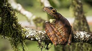 Hintergrundbilder Frosche Ast dendrobates ein Tier