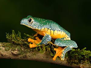 Hintergrundbilder Frosche Ast fringed leaf frog Tiere