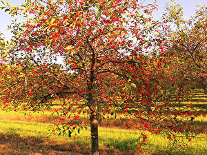 Desktop hintergrundbilder Garten Kirsche Bäume Ast Natur