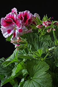 Fotos Geranien Großansicht Schwarzer Hintergrund Blatt Blütenknospe Blumen