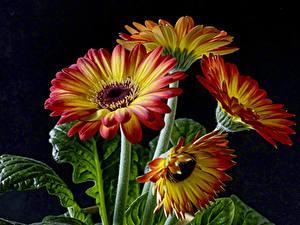 Fotos Gerbera Hautnah Schwarzer Hintergrund Blüte
