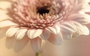 Tapety na pulpit Gerbery Z bliska Bokeh kwiat