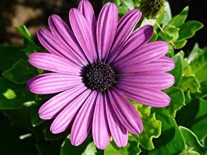 Bilder Gerbera Großansicht Petalen Violett Blumen