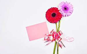 Fotos Gerbera Weißer hintergrund Vorlage Grußkarte Zwei Blatt Papier Schleife Blumen