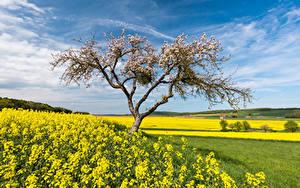 Fotos Deutschland Felder Raps Blühende Bäume Frühling Himmel Hessen Natur