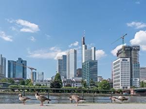 Fotos Deutschland Wolkenkratzer Frankfurt am Main Vögel Gänse Flusse Städte