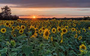 Fotos Deutschland Sonnenblumen Acker Sonnenaufgänge und Sonnenuntergänge Sonne Herforst Natur