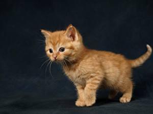 Fotos Fuchsrot Süßer Katzenjunges