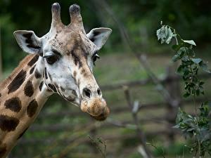 Hintergrundbilder Giraffen Kopf Unscharfer Hintergrund Blick ein Tier