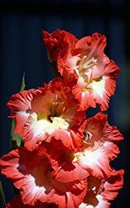Fotos Schwertblume Großansicht Blumen