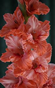 Bilder Schwertblume Großansicht Blumen