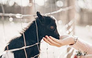 Fotos Hausziege Ziegen Jungtiere Hand Zaun Tiere