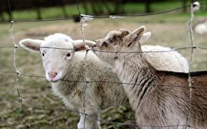 Fotos Hausziege Ziegen Zaun 2 ein Tier