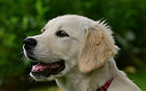 Bilder Golden Retriever Hautnah Hund Kopf Weiß