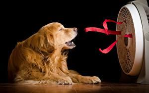 Hintergrundbilder Golden Retriever Hund ein Tier