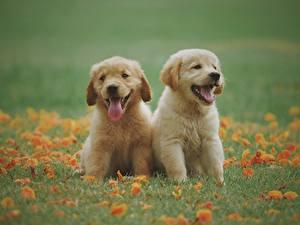 Fotos Golden Retriever Hunde Gras Welpen Zwei Sitzen Zunge Niedlich ein Tier