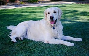 Bilder Golden Retriever Hunde Gras Weiß Hinlegen Pfote ein Tier