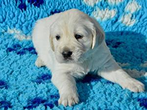 Fotos Golden Retriever Hunde Welpen Pfote Starren Weiß