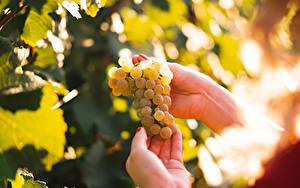Hintergrundbilder Weintraube Unscharfer Hintergrund Hand