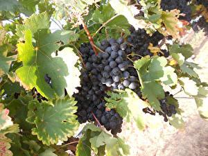 Hintergrundbilder Weintraube Ast Blattwerk Lebensmittel