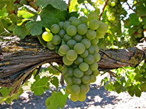 Bilder Weintraube Großansicht Ast Grün Lebensmittel