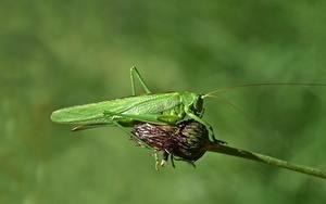 Fotos Heuschrecken Insekten Unscharfer Hintergrund Grün ein Tier
