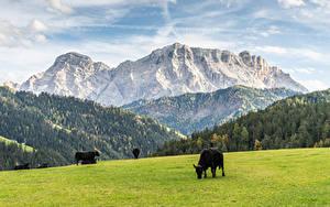 Bilder Grünland Kuh Berg Wälder ein Tier