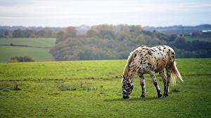 Fotos Grünland Hauspferd Gras Tiere