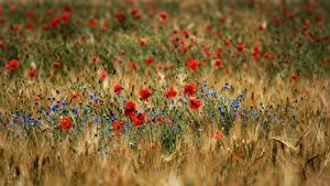 Fotos Grünland Mohnblumen Flockenblumen Bokeh Blumen