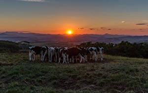 Bilder Grünland Sonnenaufgänge und Sonnenuntergänge Kuh Sonne Herde Tiere