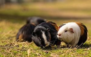 Bilder Hausmeerschweinchen Nagetiere Gras Unscharfer Hintergrund Tiere