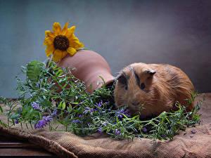 Bilder Hausmeerschweinchen Sonnenblumen Ast Tiere
