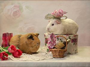 Hintergrundbilder Hausmeerschweinchen Tulpen 2 Weidenkorb Ast Tiere