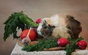 Hintergrundbilder Hausmeerschweinchen Gemüse Dill Radieschen Knoblauch Tiere Lebensmittel