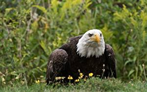 Fotos Habicht Weißkopfseeadler Gras Blick Unscharfer Hintergrund ein Tier