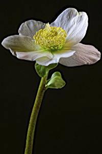 Fotos Christrosen Hautnah Schwarzer Hintergrund Weiß Blüte
