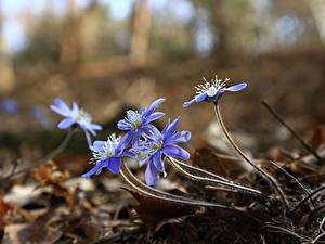 Fotos Leberblümchen Bokeh Hellblau Blüte