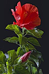 Bilder Hibiskus Schwarzer Hintergrund Rot Knospe Blatt Blumen