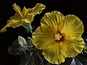 Picture Hibiscus Closeup Black background Yellow Flower-bud Flowers