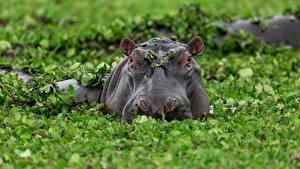 Fotos Nilpferd Kopf Sumpf Blattwerk ein Tier
