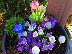 Fotos Feiertage Ostern Krokusse Tulpen Ei Blumen