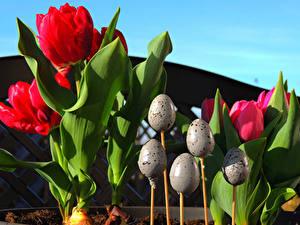 Hintergrundbilder Feiertage Ostern Tulpen Ei Blumen