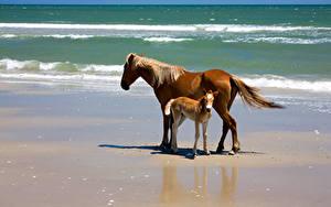 Hintergrundbilder Pferde Jungtiere Meer Küste