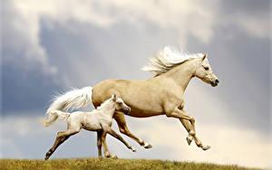 Hintergrundbilder Pferde Jungtiere Zwei Lauf Tiere