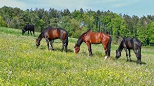 Bilder Hauspferd Grünland Gras ein Tier