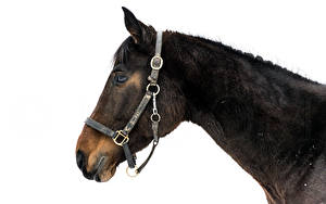 Hintergrundbilder Pferde Kopf Tiere