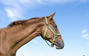 Hintergrundbilder Pferde Himmel 1ZOOM Kopf ein Tier