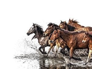Fotos Pferd Wasser Laufsport Wasser spritzt Weißer hintergrund ein Tier