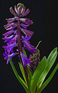 Bilder Hyazinthen Großansicht Schwarzer Hintergrund Blüte