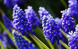 Bilder Hyazinthen Nahaufnahme Blau Bokeh Blüte